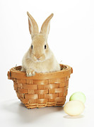 Easter Rabbit Framed Prints - Easter Bunny In Basket Framed Print by American Images Inc