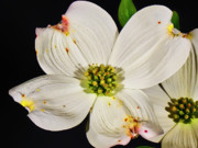 Easter Flowers Prints - Easter Dogwood Print by Michael Putnam