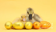 Baby Bird Photos - Easter Duckling And Gosling by Mark Taylor