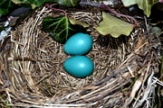 Robin Photos - Easter Eggs by Michelle Calkins