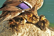 Baby Mallards Posters - Easter Hatchlings 2 Poster by Cindy Fullwiler