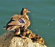 Baby Mallards Posters - Easter Hatchlings Poster by Cindy Fullwiler