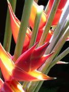 Heliconia Framed Prints - Easter Heliconia Framed Print by James Temple