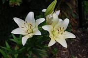 Judy Hall-Folde - Easter Lillies