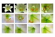 Carpel Posters - Easter Lily Greetings Poster by Juergen Roth