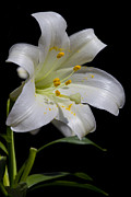 Megan Noble - Easter Lily