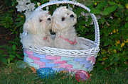 Maltese Dogs Photos - Easter Pups by Lynn Bauer