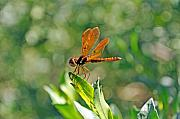Dragonfly Originals - Eastern Amber Wing Dragonfly by Kenneth Albin