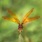 Dragonflies Photos - Eastern Amberwing by Jeremy Martin