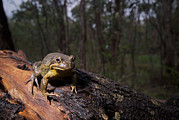 Australian Bush Prints - Eastern Banjo Frog Sits On Wet Log Print by Brooke Whatnall