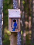 Entering Photo Prints - Eastern Bluebird Entering Home Print by Douglas Barnett