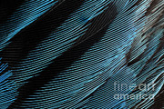 Bluebird Metal Prints - Eastern Bluebird Feathers Metal Print by Ted Kinsman