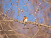 Eastern Bluebird Prints - Eastern Bluebird Print by Frank Piercy