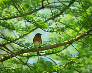Eastern Bluebird Posters - Eastern Bluebird in Bald Cypress Tree Poster by Rebecca Sherman