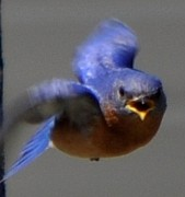 Terri Albertson - Eastern Bluebird in...