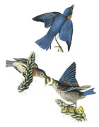 Audubon Posters - Eastern Bluebird Poster by John James Audubon