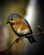 Bluebird Metal Prints - Eastern Bluebird Metal Print by Lana Trussell