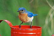 Sialia Sialis Metal Prints - Eastern Bluebird Male Metal Print by L Freshwaters Arndt and Photo Researchers
