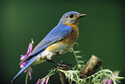 Bluebird Metal Prints - Eastern Bluebird Male Portrait Ontario Metal Print by Tim Fitzharris