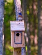 Sialia Sialis Metal Prints - Eastern Bluebird Perched on Birdhouse 4 Metal Print by Douglas Barnett