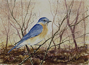 Bluebird Painting Metal Prints - Eastern Bluebird Metal Print by Sam Sidders