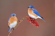Song Bird Photos - Eastern Bluebirds  by Jim Zipp and Photo Researchers