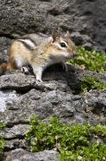 Eastern Chipmunk Photos - Eastern Chipmunk, Botanical Garden by Philippe Henry