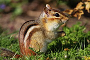 Eastern Chipmunk Photos - Eastern Chipmunk by Bruce J Robinson