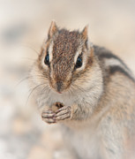 Eastern Chipmunk Photos - Eastern Chipmunk by Chris ODonoghue