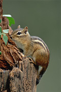 Eastern Chipmunk Photos - Eastern Chipmunk Tamias Striatus by Gerry Ellis