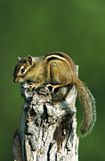 Eastern Chipmunk Photos - Eastern Chipmunk Tamias Striatus by Konrad Wothe