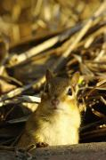 Eastern Chipmunk Photos - Eastern Chipmunk, Tamias Striatus, Les by Steeve Marcoux