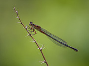Dragonflies Photos - Eastern Forktail by Jeremy Martin