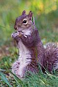 Squirrel Originals - Eastern Gray Squirrel by Alan Lenk