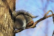 Precarious Framed Prints - Eastern Gray Squirrel, Montreal Framed Print by Philippe Henry