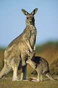 Eye Contact Photos - Eastern Grey Kangaroo And Her Joey by Ingo Arndt