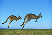 Ai Prints - Eastern Grey Kangaroo Macropus Print by Jean-Paul Ferrero