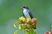 Flycatcher Originals - Eastern Kingbird by Alan Lenk