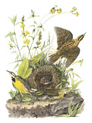 Meadowlark Paintings - Eastern Meadowlark by John James Audubon