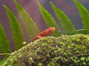 Newts Photos - Eastern Newt 4 by Douglas Barnett