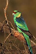 Parrot Metal Prints - Eastern or Mallee Ringneck A Metal Print by Tony Brown