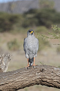Kenya Wildlife Framed Prints - Eastern Pale Chanting Goshawk Framed Print by amir Paz