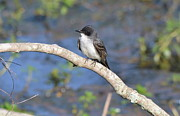 Birders Framed Prints - Eastern Phoebe Framed Print by Kathy Gibbons