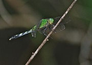 Green Jacket Framed Prints - Eastern Pondhawk 8644 3276 Framed Print by Michael Peychich