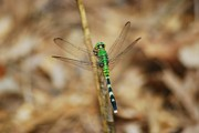 Dragonflies Art - Eastern Pondhawk 8649 3279 by Michael Peychich