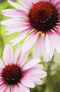 Eastern Purple Cone Flowers Print by Dhmig Photography
