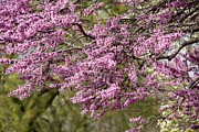 Red Bud Trees Prints - Eastern red bud  Print by Yumi Johnson