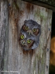 Florida Nature Photography Originals - Eastern Screech Owl Chicks by Barbara Bowen