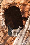 Tree Creature Prints - Eastern Screech-Owl II Print by Clarence Holmes