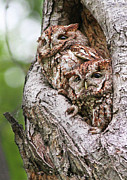 Feathered Photos - Eastern Screech Owls by Mircea Costina Photography